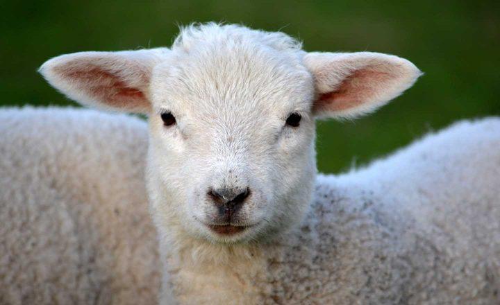 Die Grausamkeit des Tötens unschuldiger Tiere kann ein Motiv sein, kein Fleisch mehr zu essen.