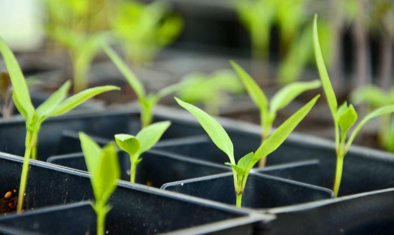 Vorgezogene Pflanzen in einem Saatgutbehälter